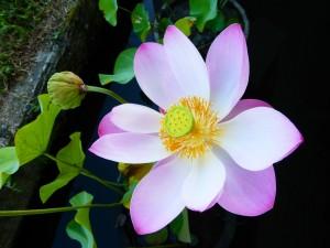 P1000929-flower